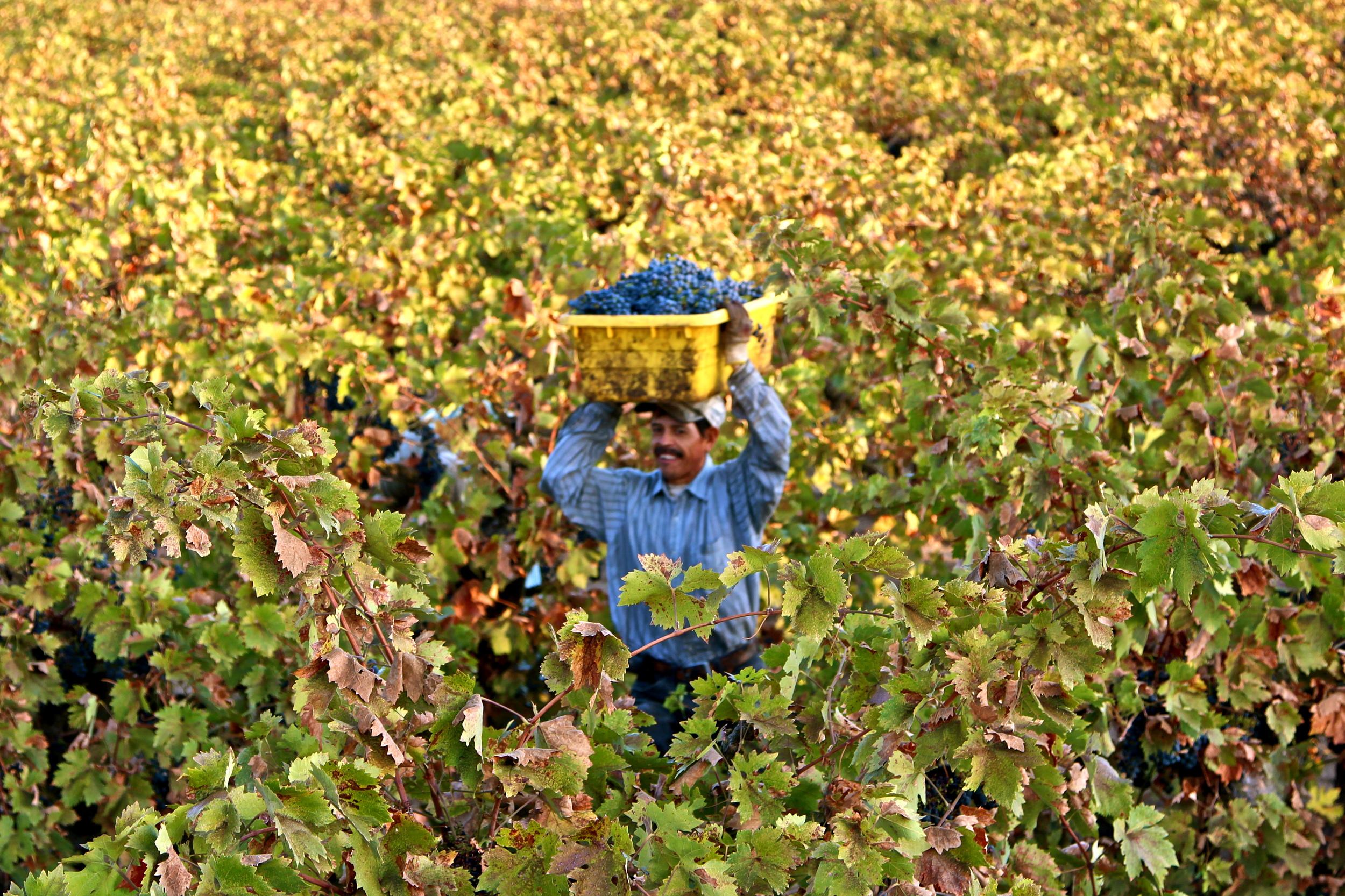 Harvest in Lodi (photo by Randy Caparoso)