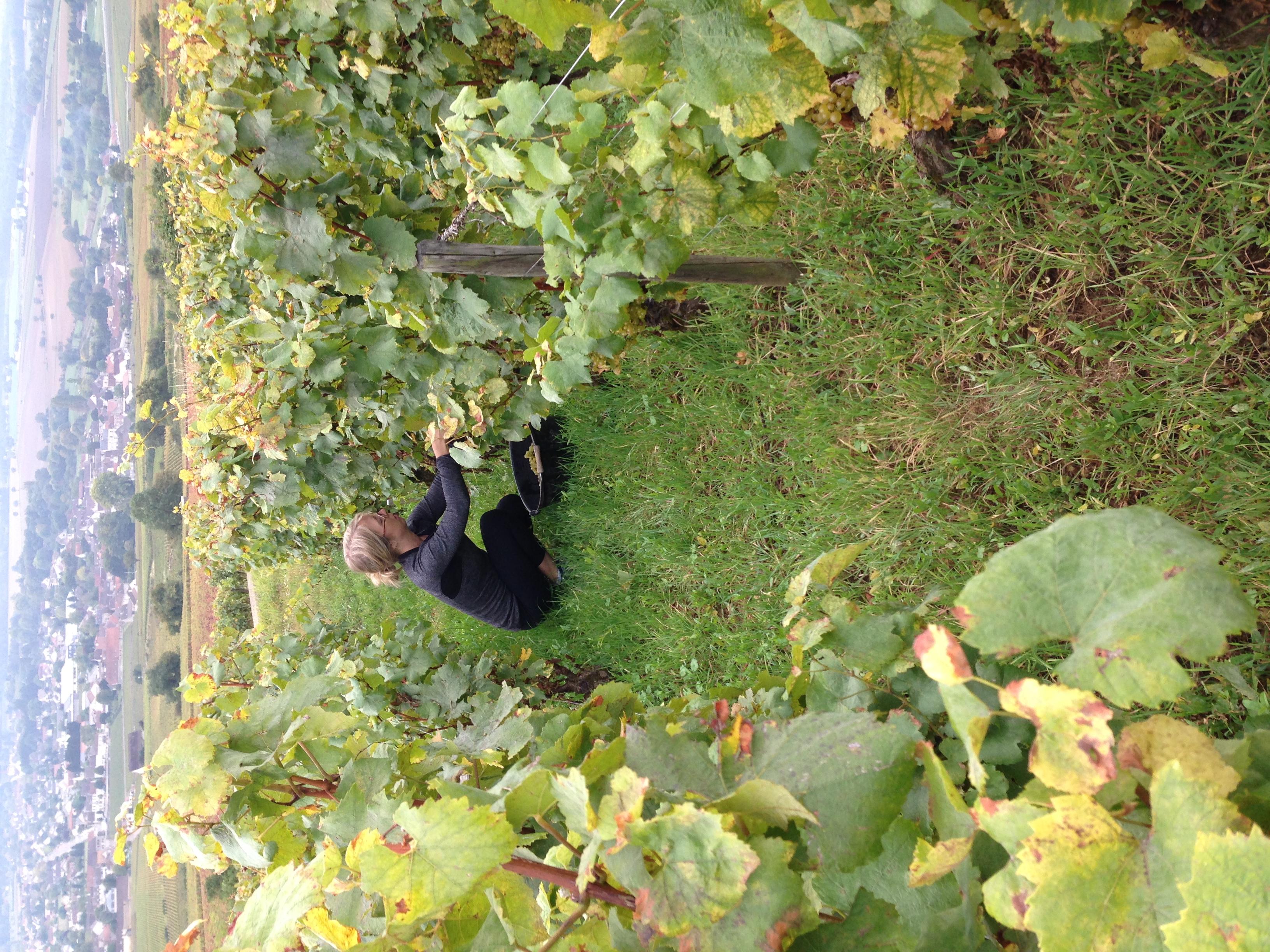 The author picking Grand Cru Corton Blanc