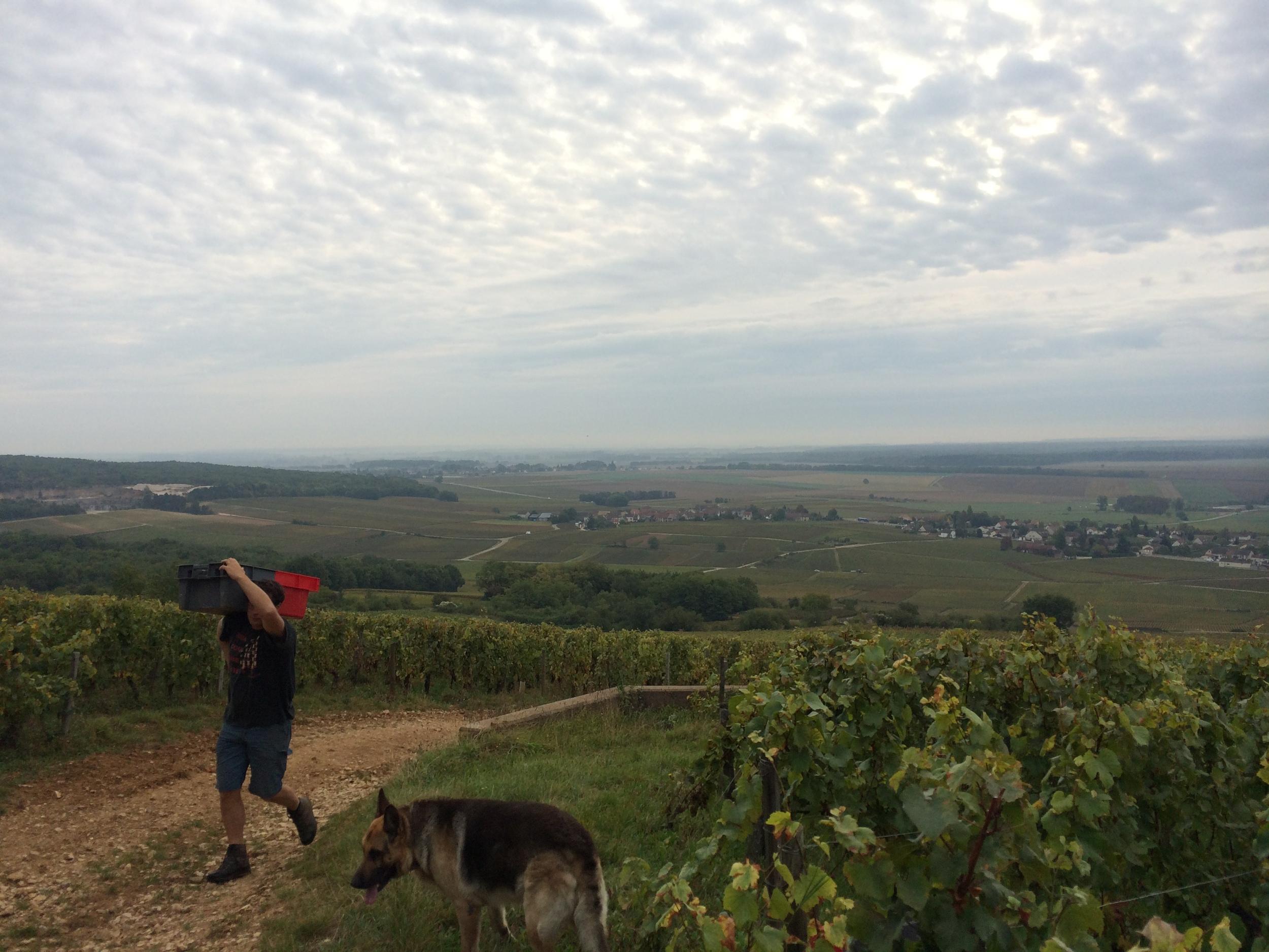 Vineyard worker on Corton