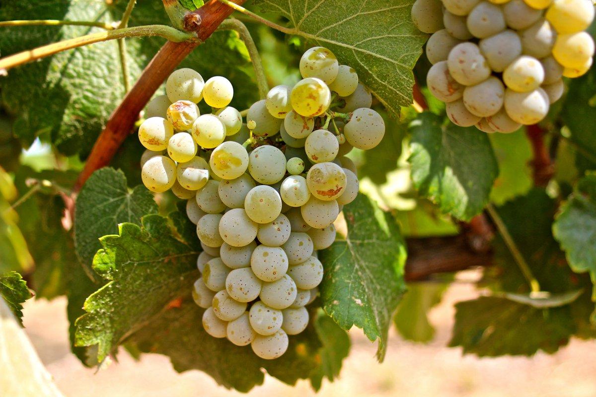 The Albariño grape. Photo courtesy of Vista Luna Vineyard.