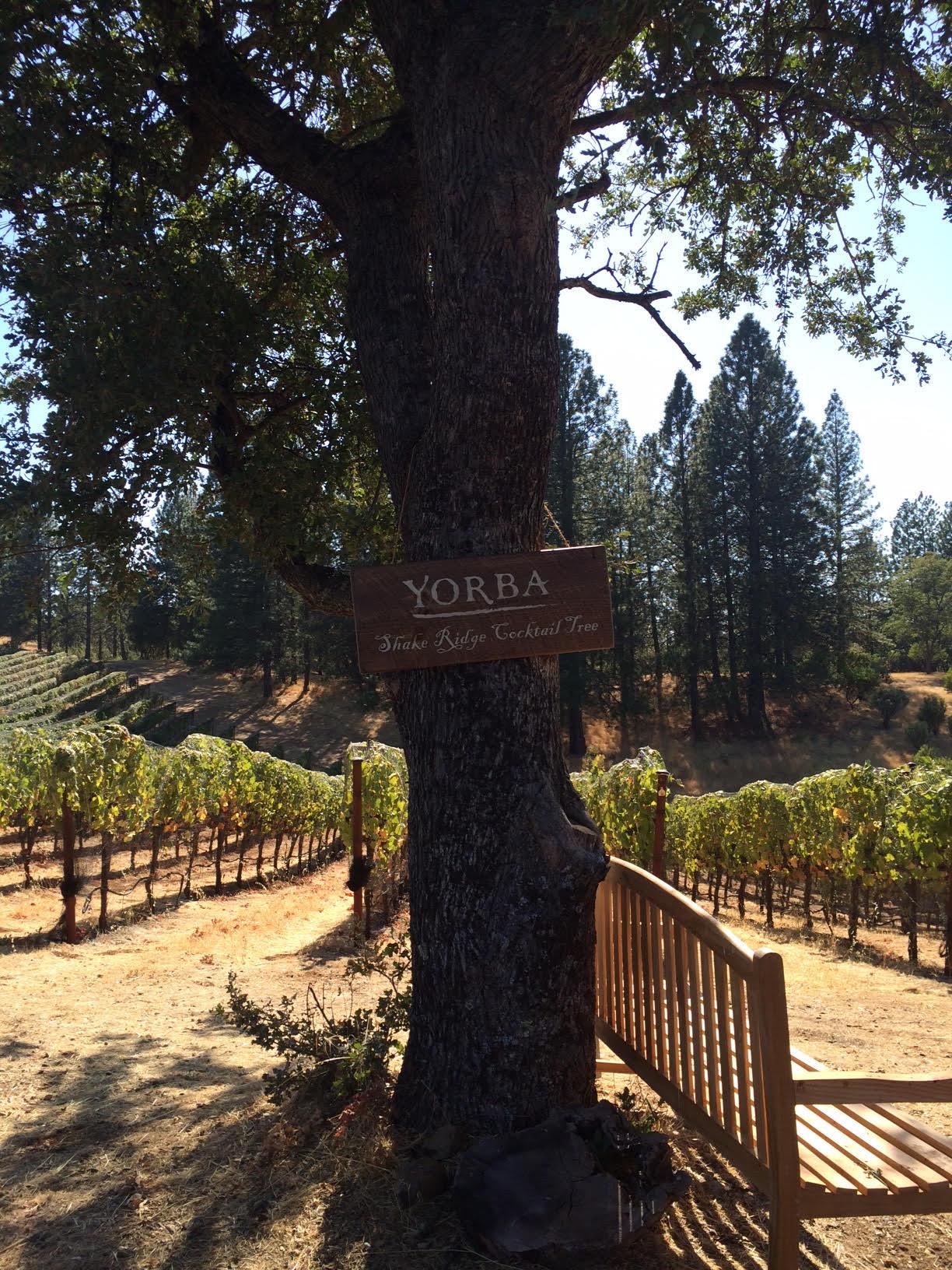 The 'Cocktail Tree' at Shake Ridge vineyard. Photo courtesy of Alex Fondren.