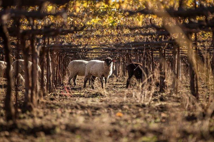 Sheep grazing at Bonterra's Veinyards. Photos courtesy of Bonterra.
