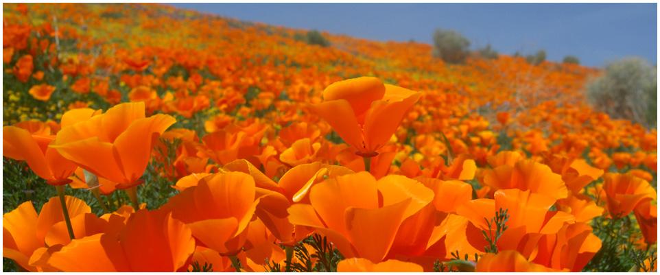 Photo courtesy of the California Poppy Festival
