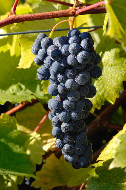 Marquette- one of Minnesota's native grape varieties (courtesy of WineAmerica)