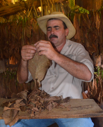 The farmer of the tobacco plantation showing how a cigar is made