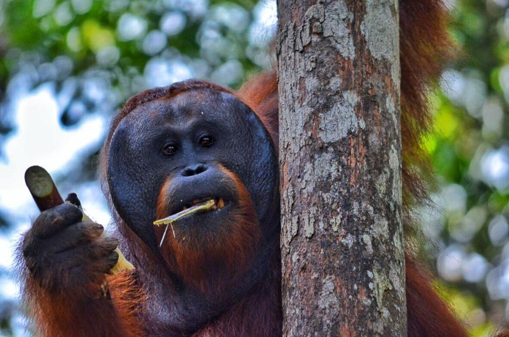 male orangutan borneo