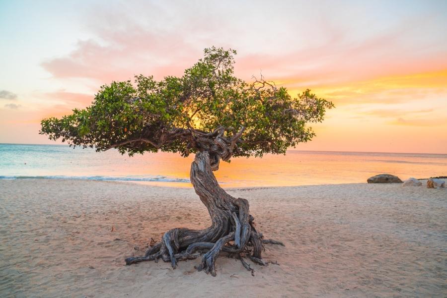 divi divi tree aruba travel tips