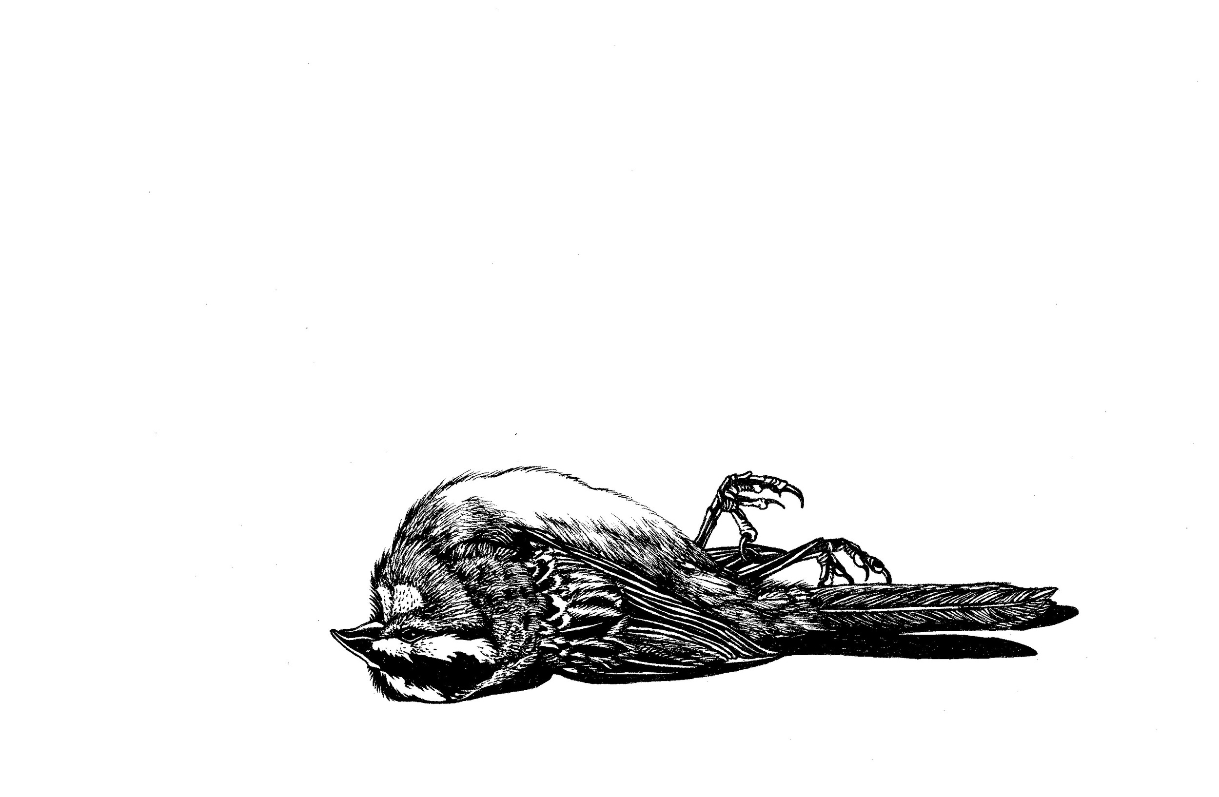 White Throated Sparrow copy.jpg