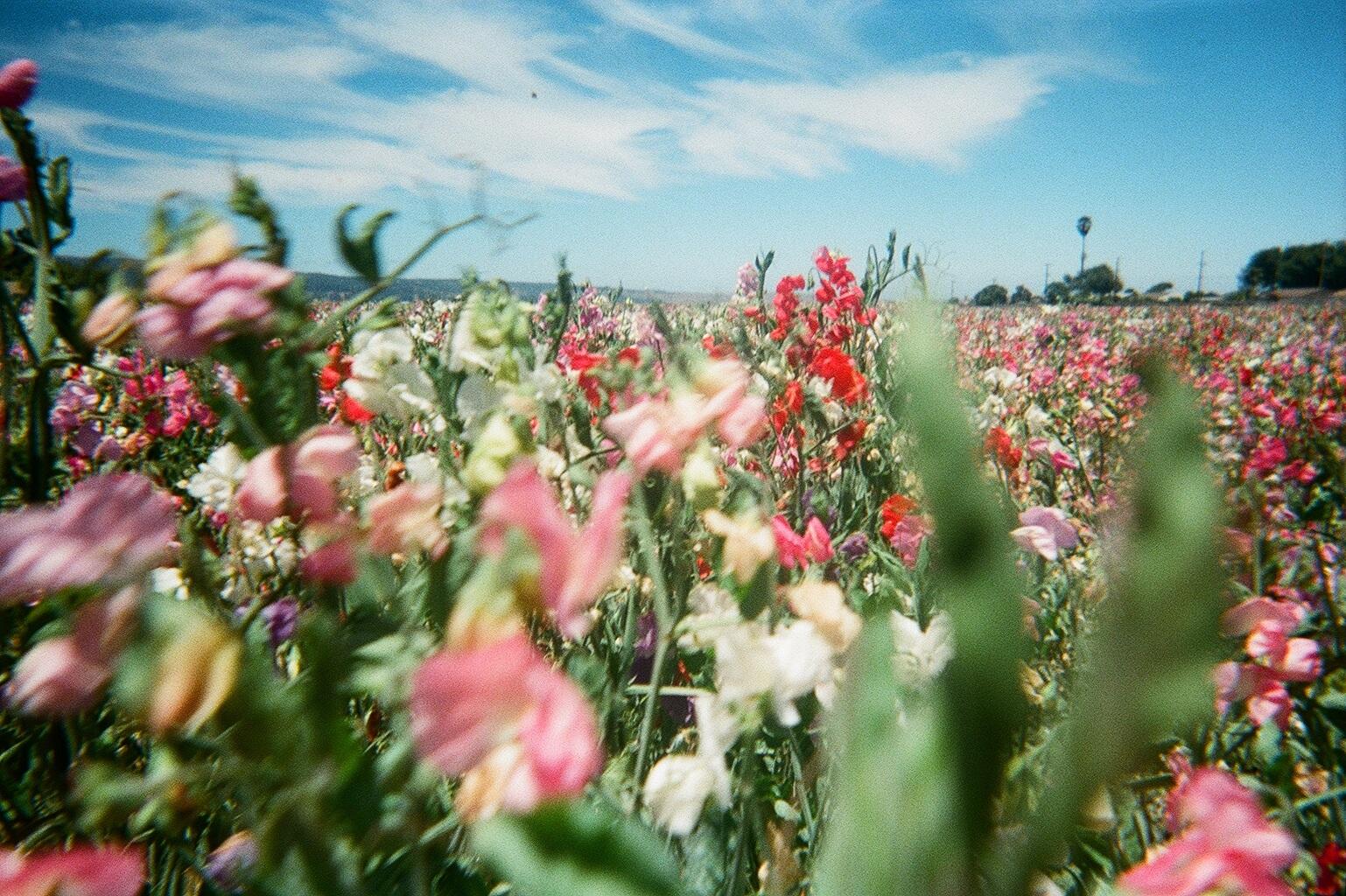 A field of sweet peas en route