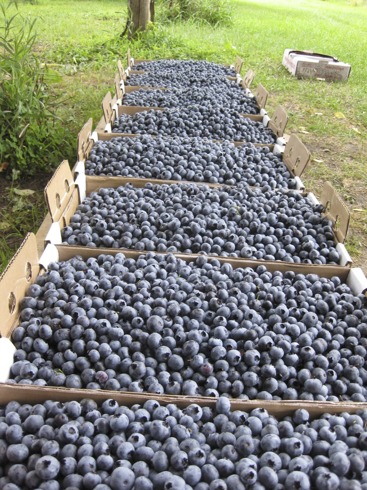 flats of blueberries.jpg