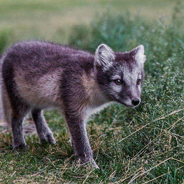 Icelandic Fox.