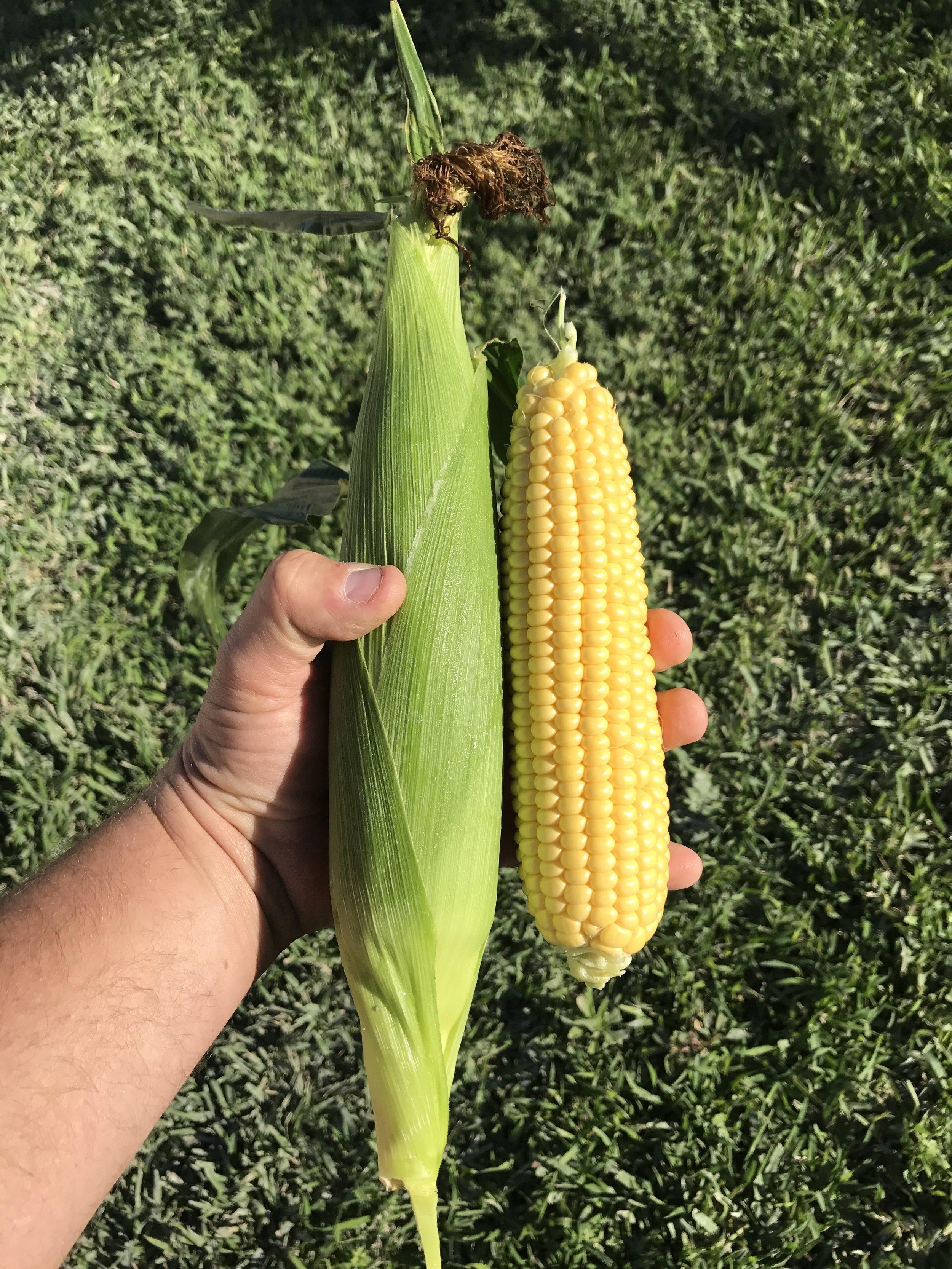 South Florida Fresh Winter Yellow Sweet Corn Winter Produce