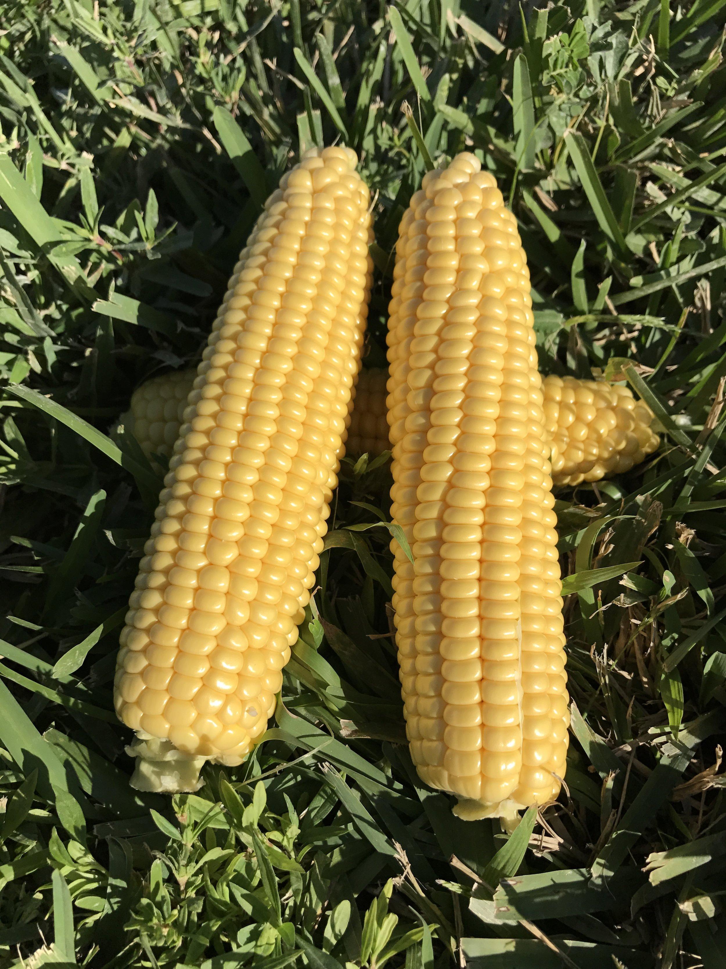 South Florida Fresh Winter Yellow Sweet Corn