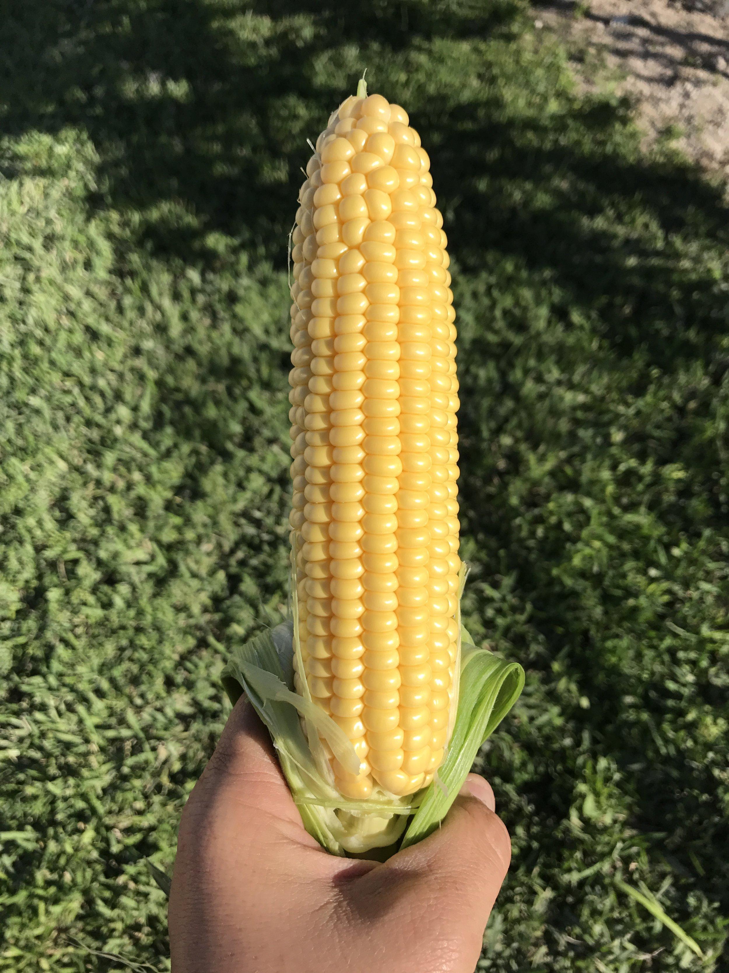 South Florida Fresh Yellow Sweet Corn Winter Produce
