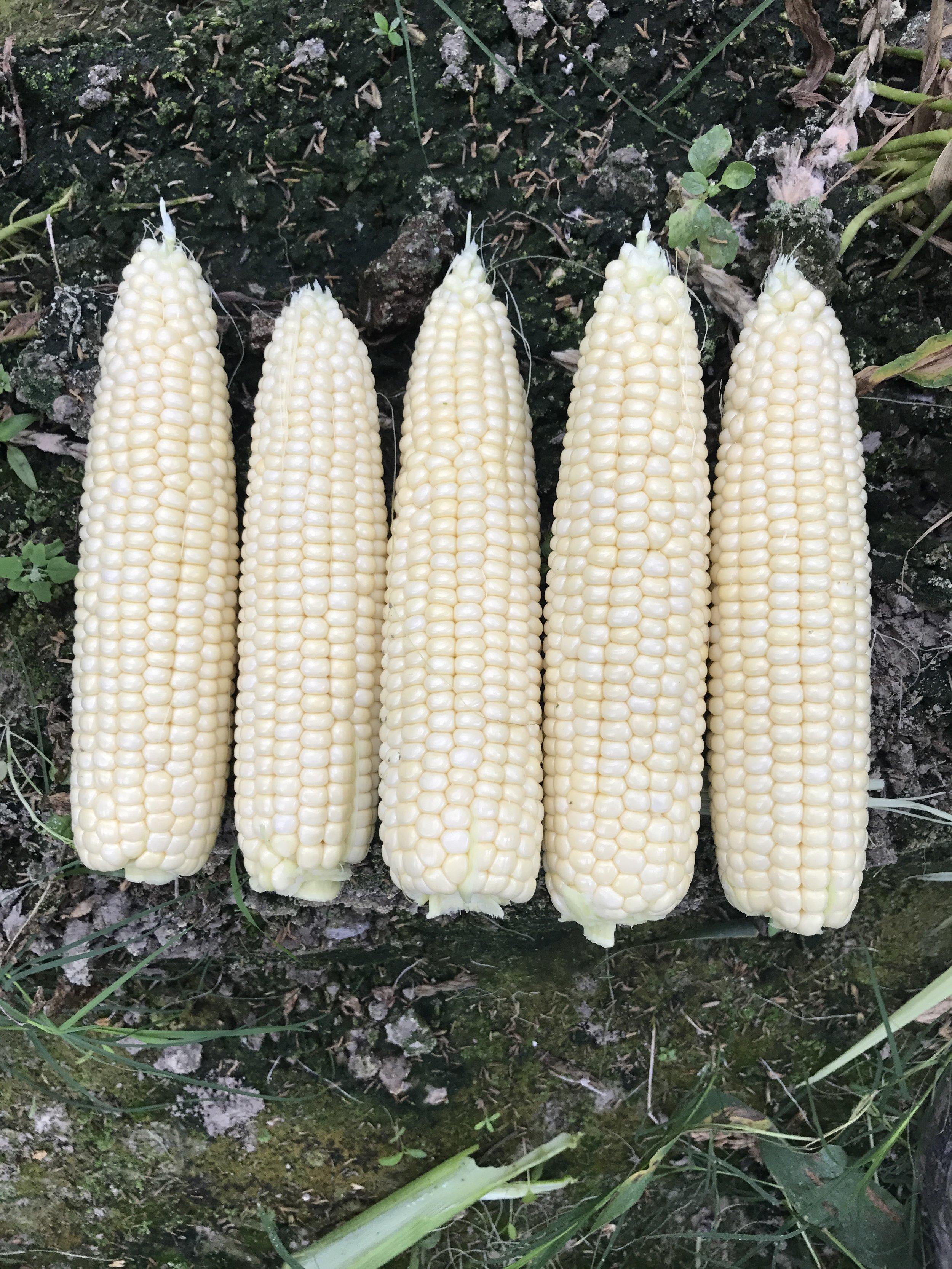 Florida Fresh White Winter Sweet Corn