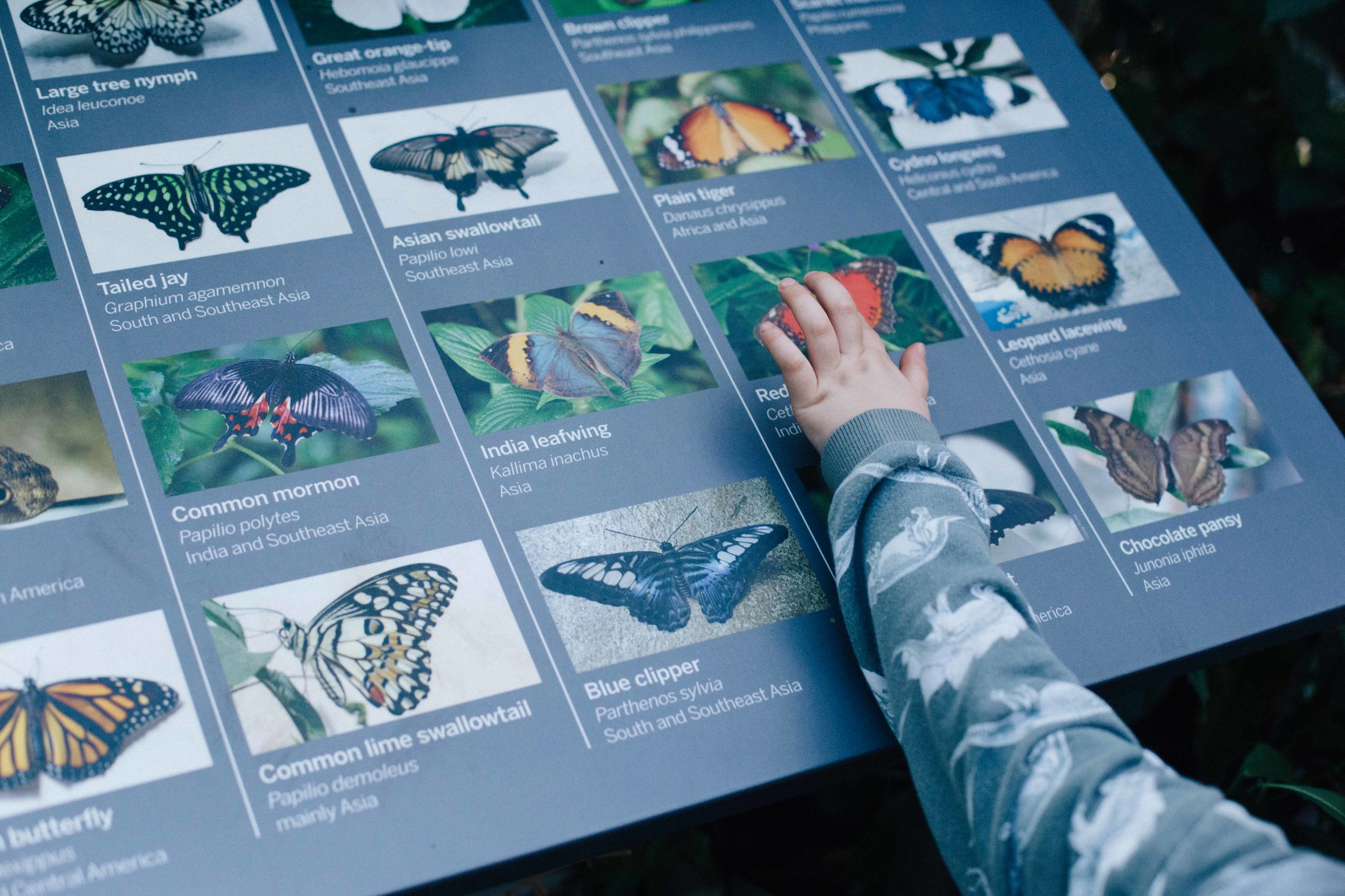 Boy pointing at pictures of butterflies at Butterfly House, Horniman Museum, Forrest Hill, London