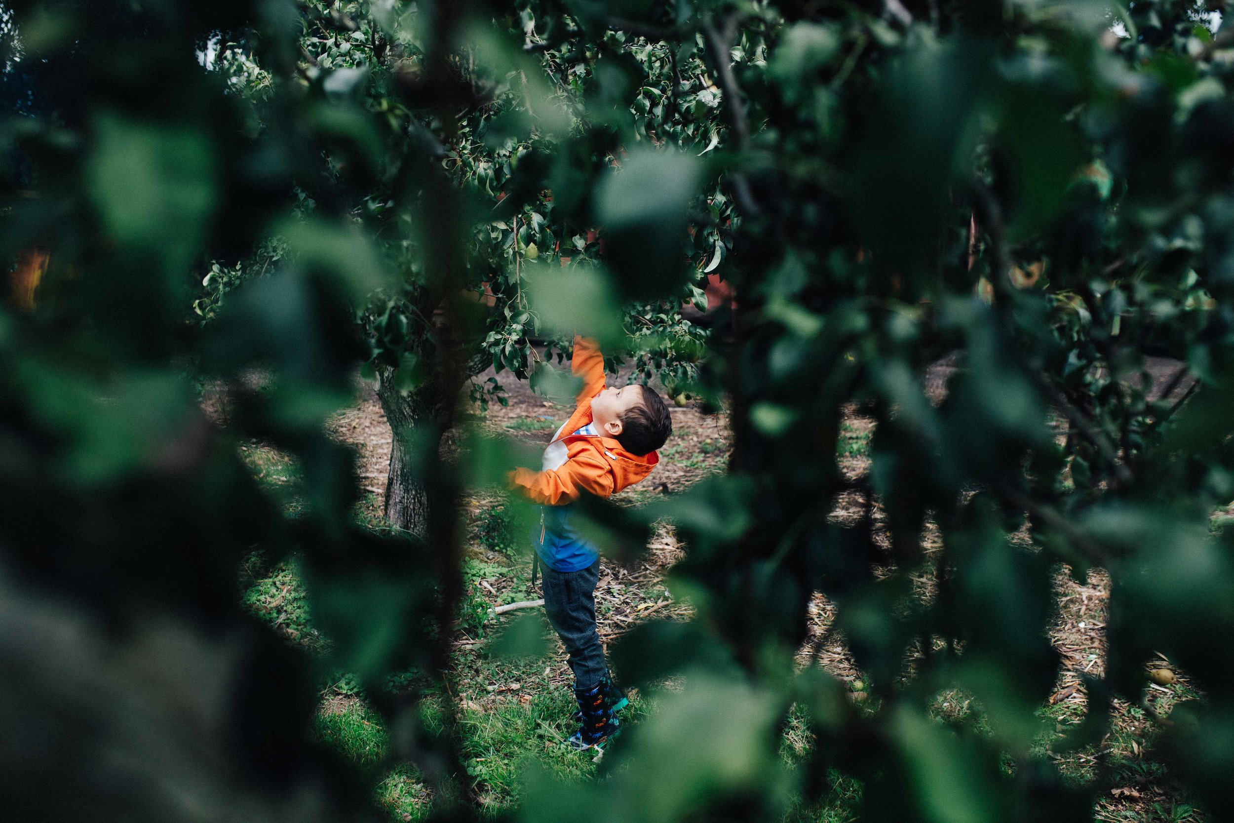 Young child tiptoeing to reach a fruit in a tree at a farm in Kent
