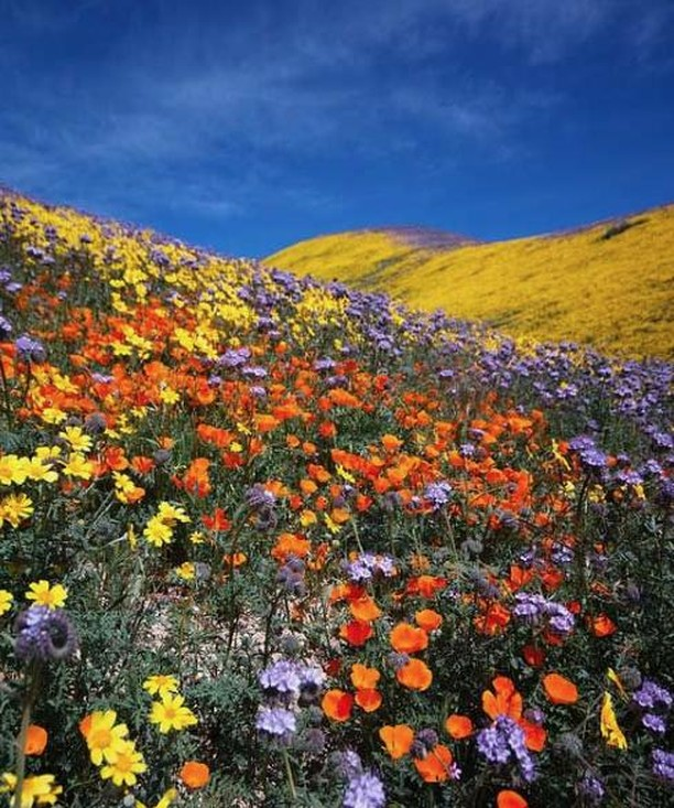 A gentle reminder for anyone heading to see the superbloom in Southern California: stay on designated trails!  You may see smaller trails leading you through the blooms but stay away! Those are usually caused when people walk/lay/sit on the flowers - over time (sometimes in as little as a day) the flowers die and stop growing in those areas, creating a false path. Protect the wildflowers and stay on the REAL paths!  #superbloom #california #poppies #wildflowers