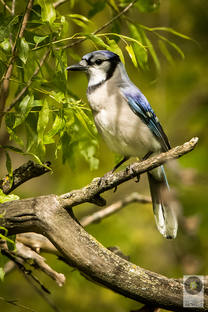 Right smart looking jay