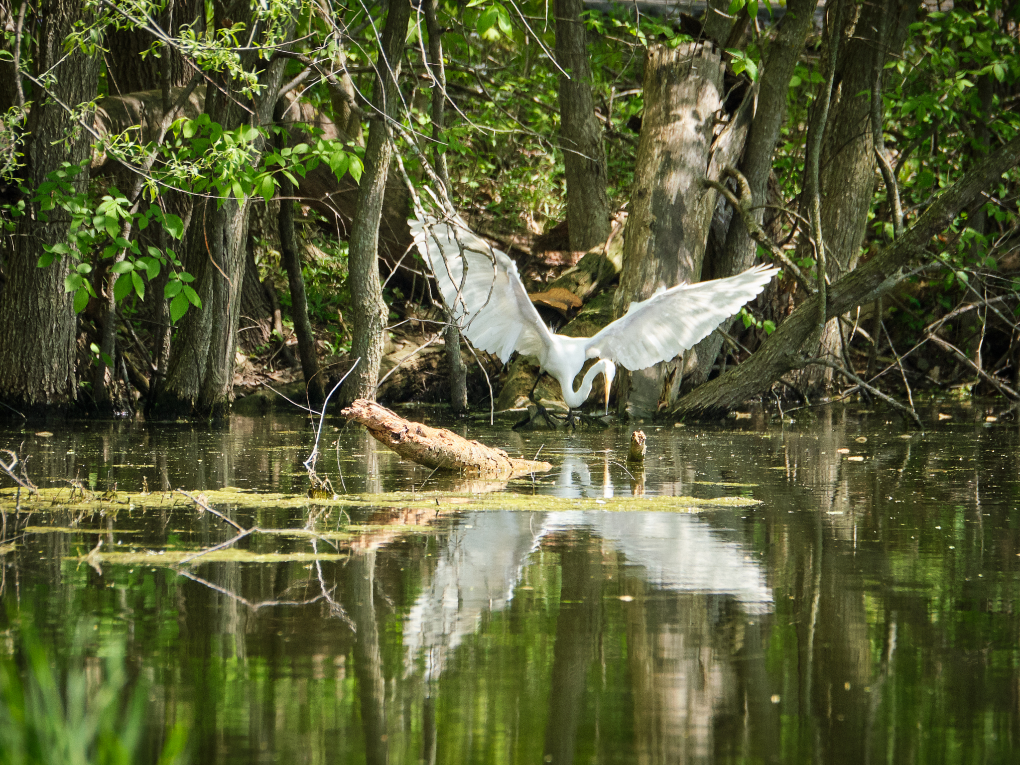 Egret feeding in sequence138.jpg