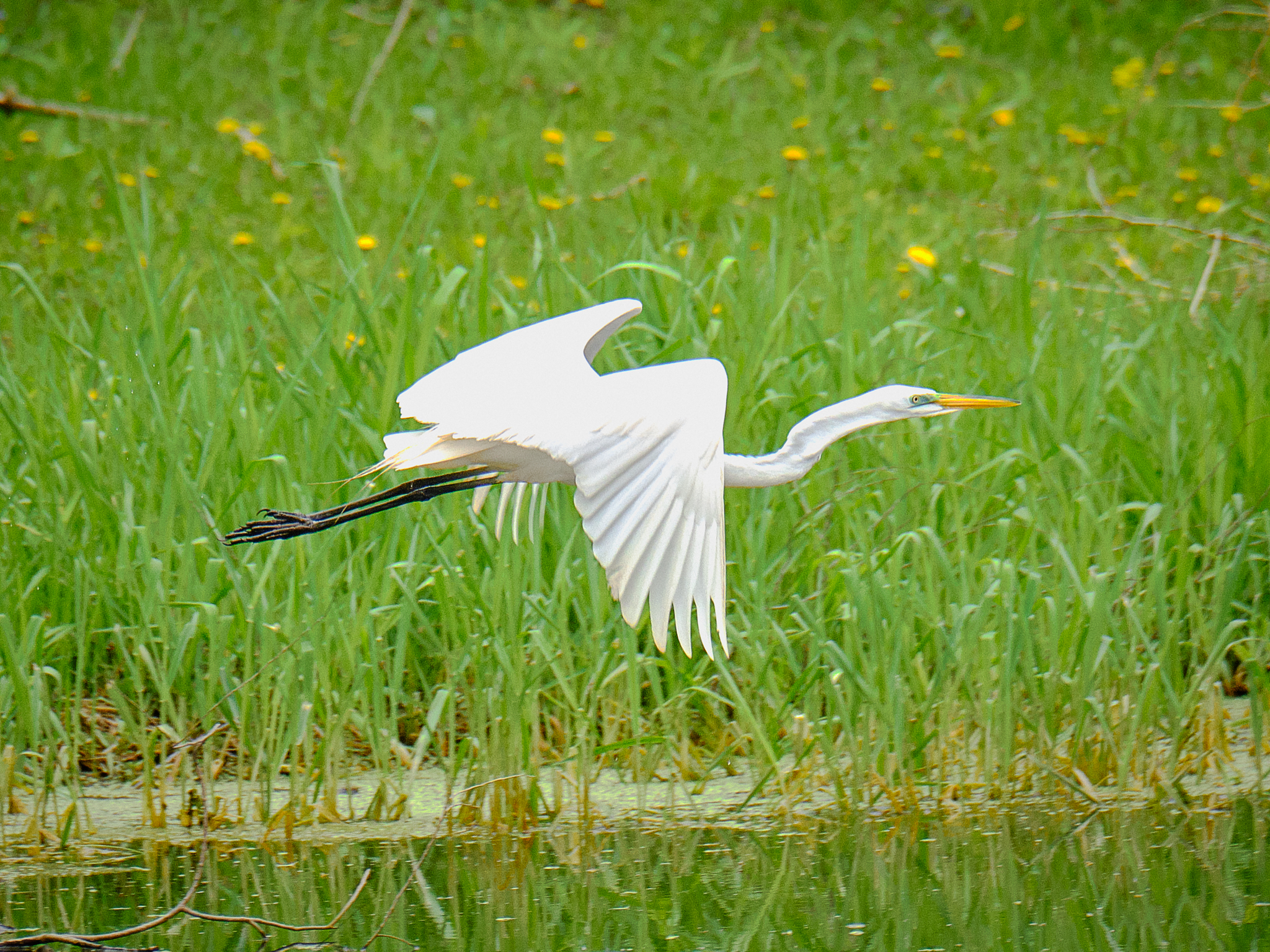 Egrets in flight2115.jpg