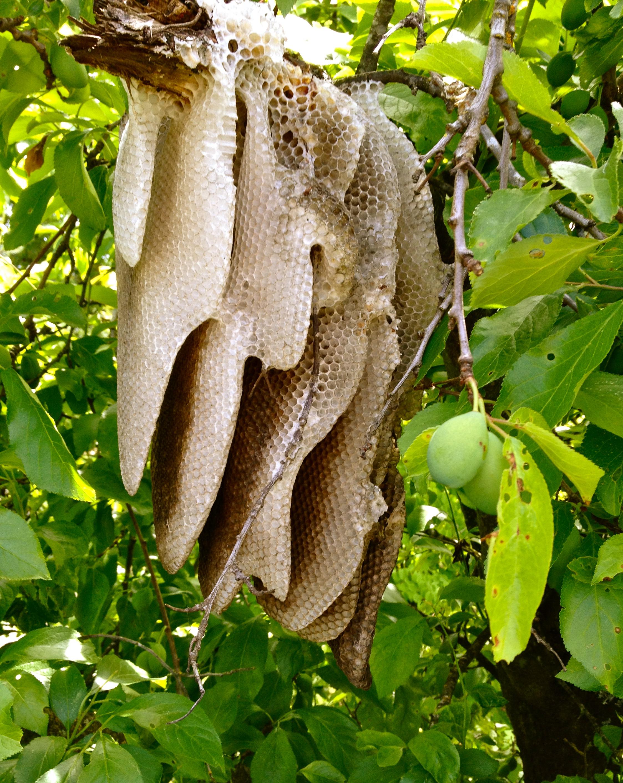 Comb in plum tree