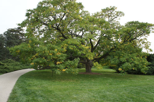 stately Corktree at the Morton Arboretum Low Branches by Gilbert A Smith