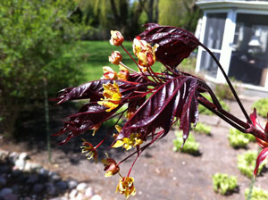 Norway Maple flowers and new spring leaves