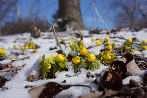 Winter Aconite, spring's first flower by Lesley Bruce Smith
