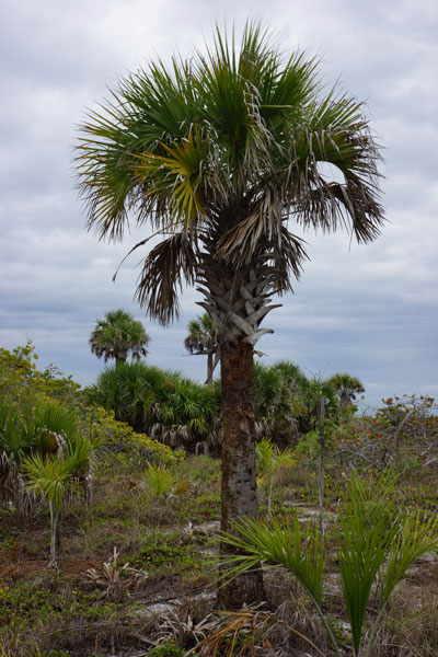 Surviving Palm by Lesley Bruce Smith