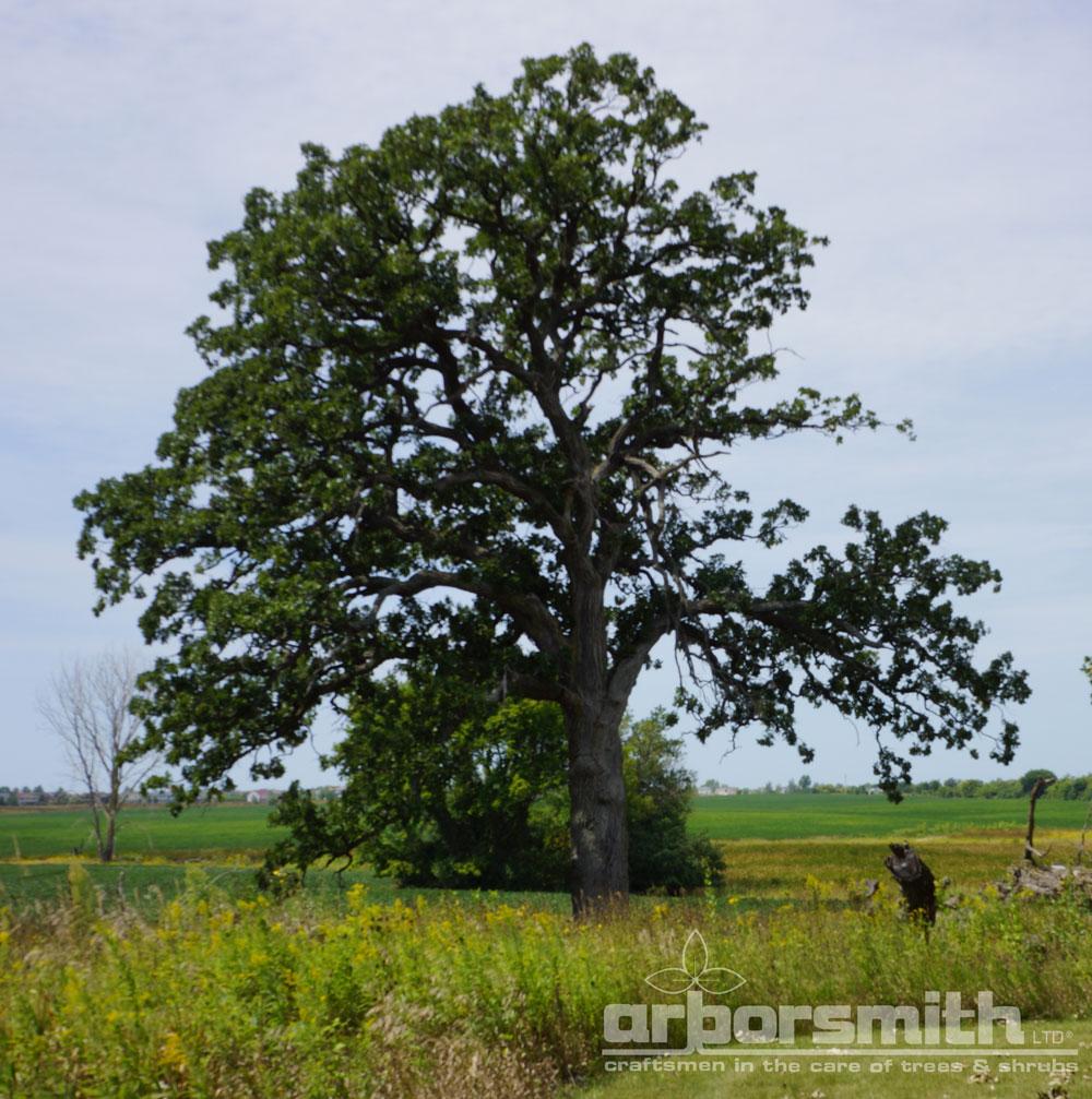 Burr Oak tree, king of the prairie, summer