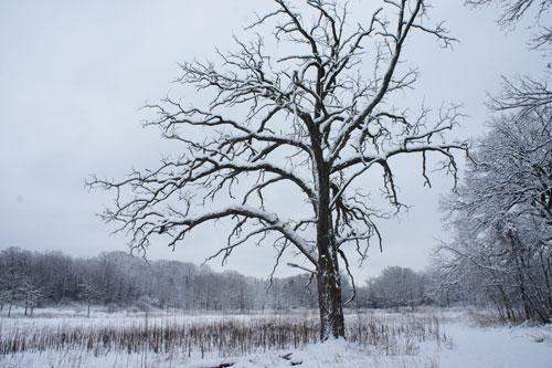 Burr Oak tree, king of the prairie, winter