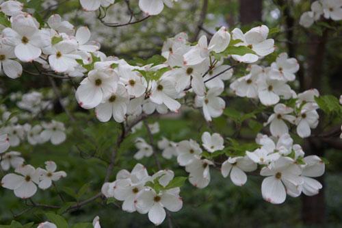 Flowering Dogwood, Cornus florida