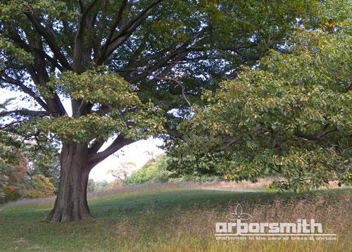 Magnificent White Oak