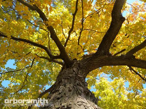 Sugar Maple, Ryerson Woods