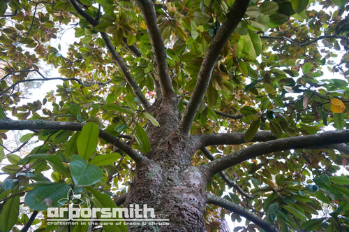 The unparalleled Southern Magnolia