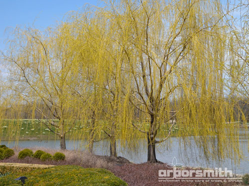 Spring Willow by Lesley Bruce Smith