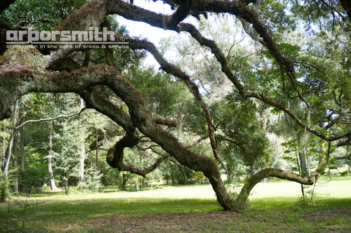 Magnificent Live Oak, 125' diameter by Lesley Bruce Smith