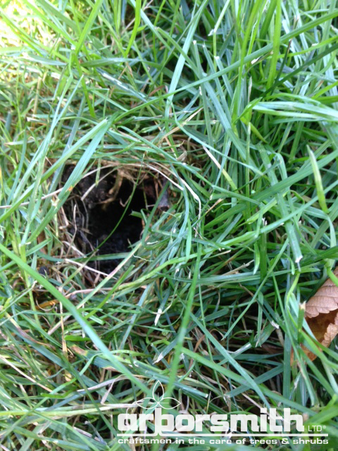 Mystery lawn holes revealed as skunk damage