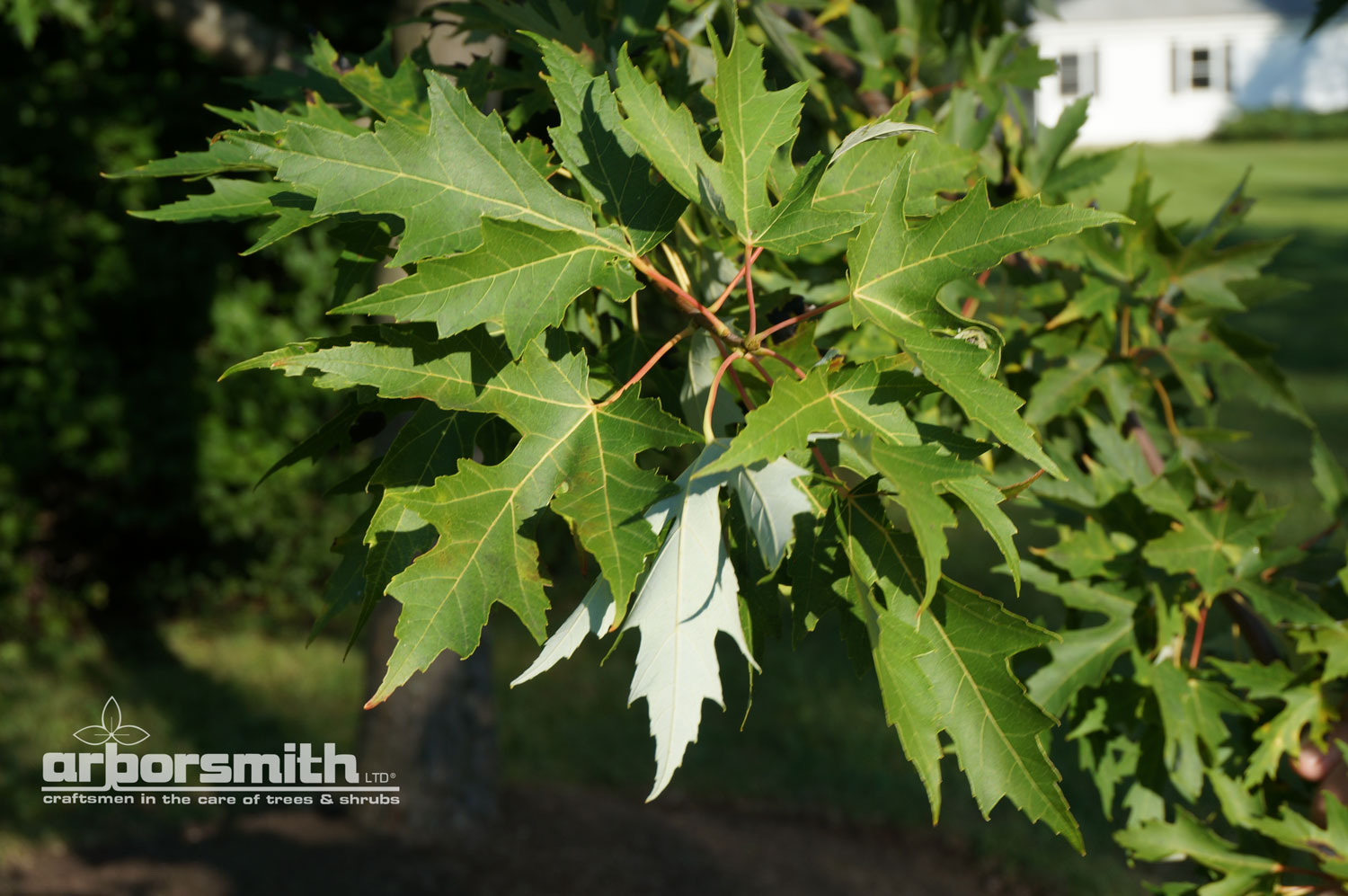 Beautiful contrast of the Silver Maple leaf.   Photos by Lesley Bruce Smith