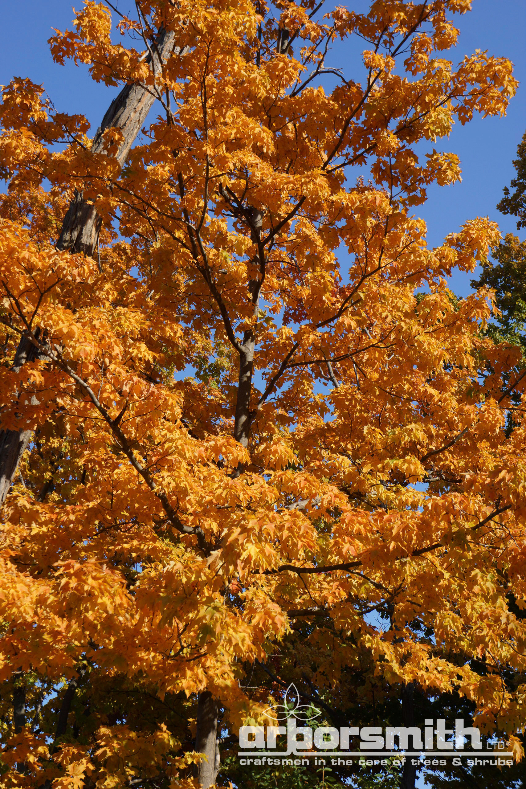 Sugar Maple in beautiful fall color