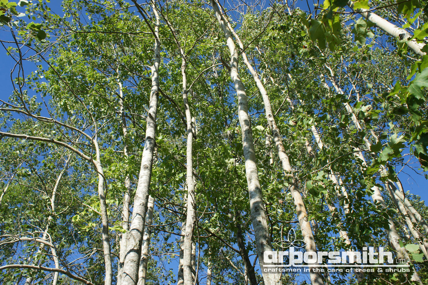 Aspen Grove, hanging out and absorbing pollution.  Photo by Lesley Bruce Smith