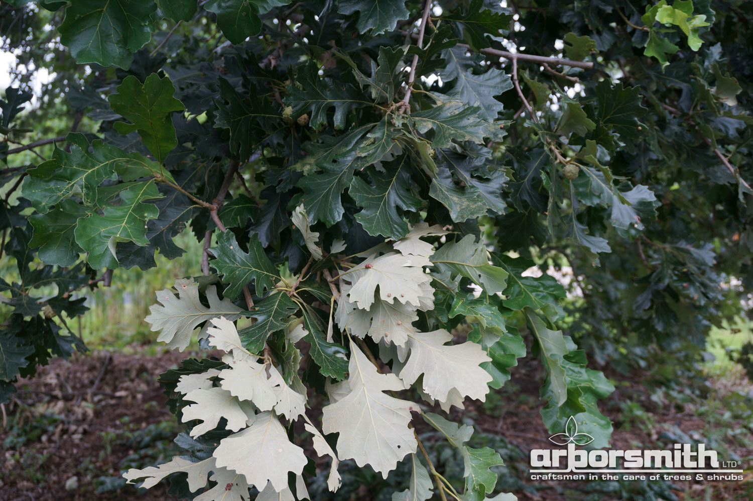 Silver Grey and Green of the Burr Oak leaves