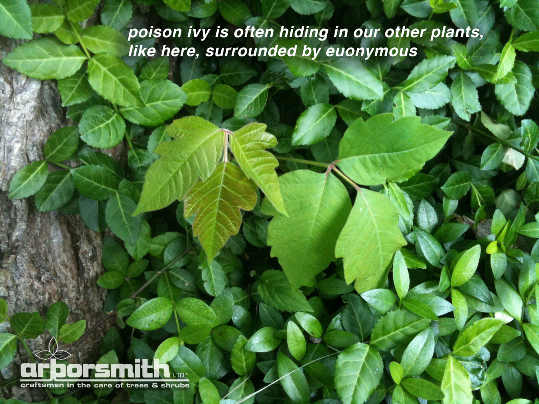 poison-ivy-arborsmith.jpg