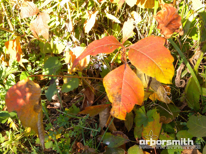 poison ivy in autumn