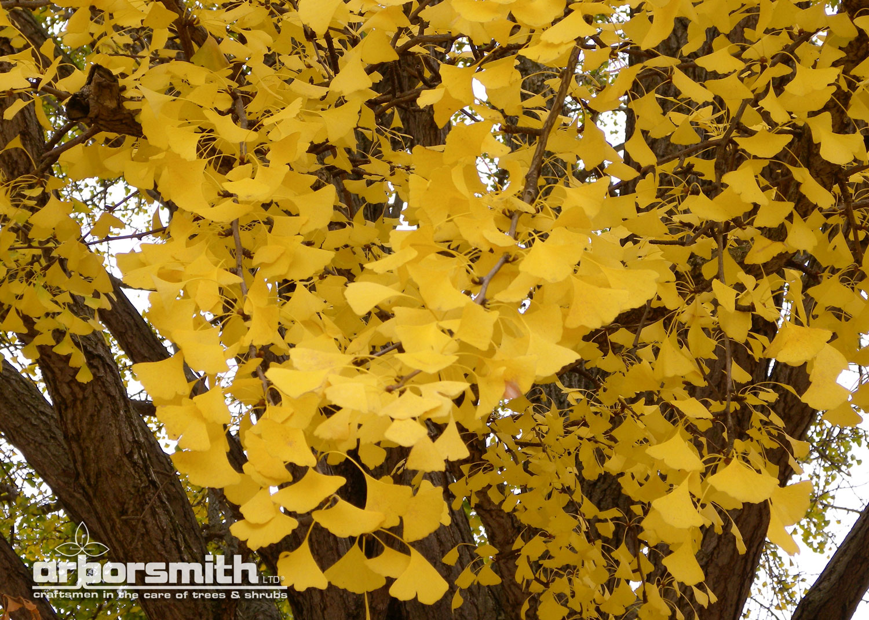 Autumn color on a Ginkgo tree in Wilmette, IL