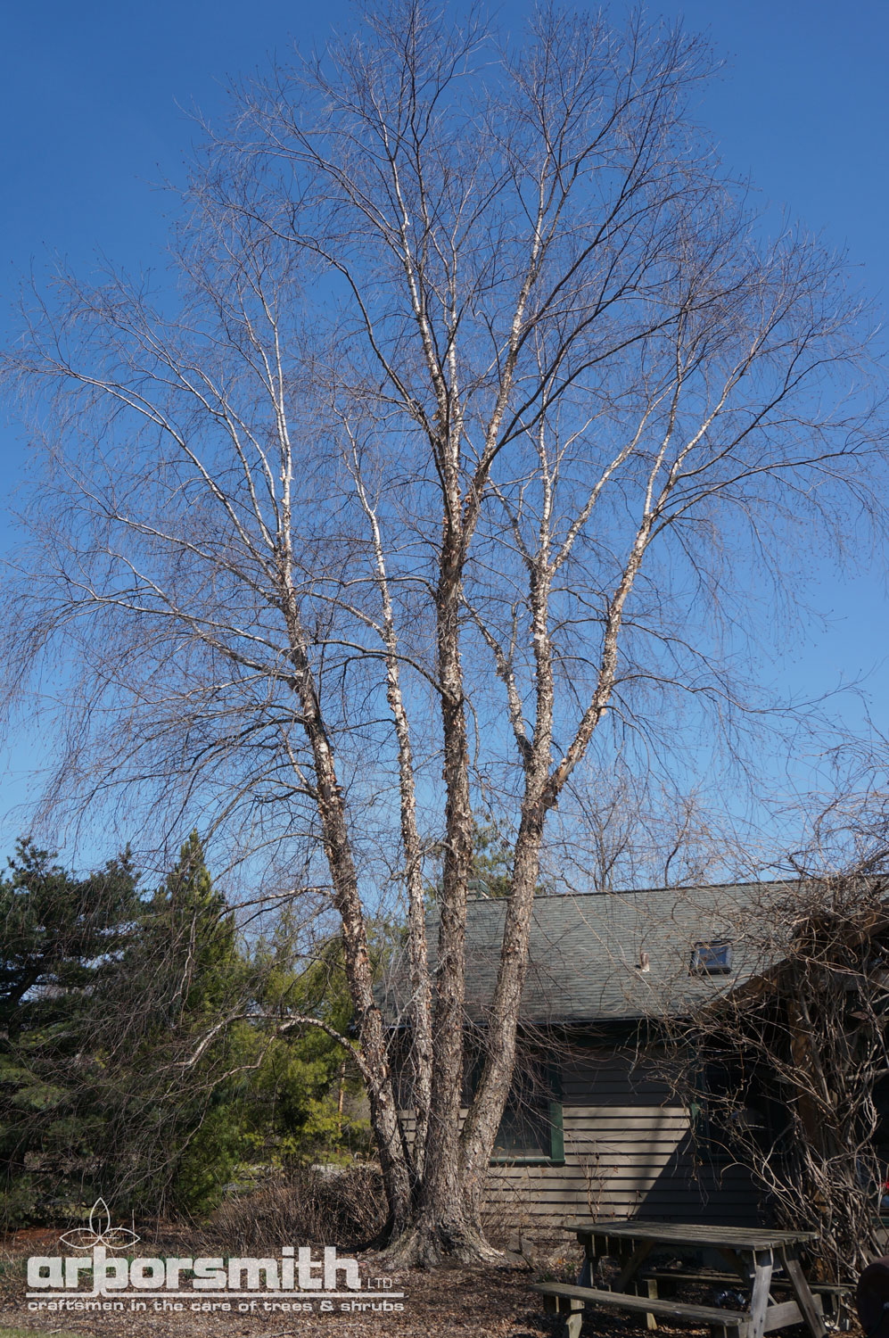 This Riverbirch was designed into a landscape with lots of mulched bed area to allow easy recycling of its leaves and thus nutrients.