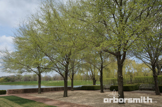 Commendation hybrid Elm Alley at the Chicago Botanic Garden.  Photos by Lesley Bruce Smith