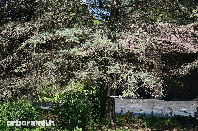 Blue Spruce with severe Rhizosphaera.  Photo by Lesley Bruce Smith