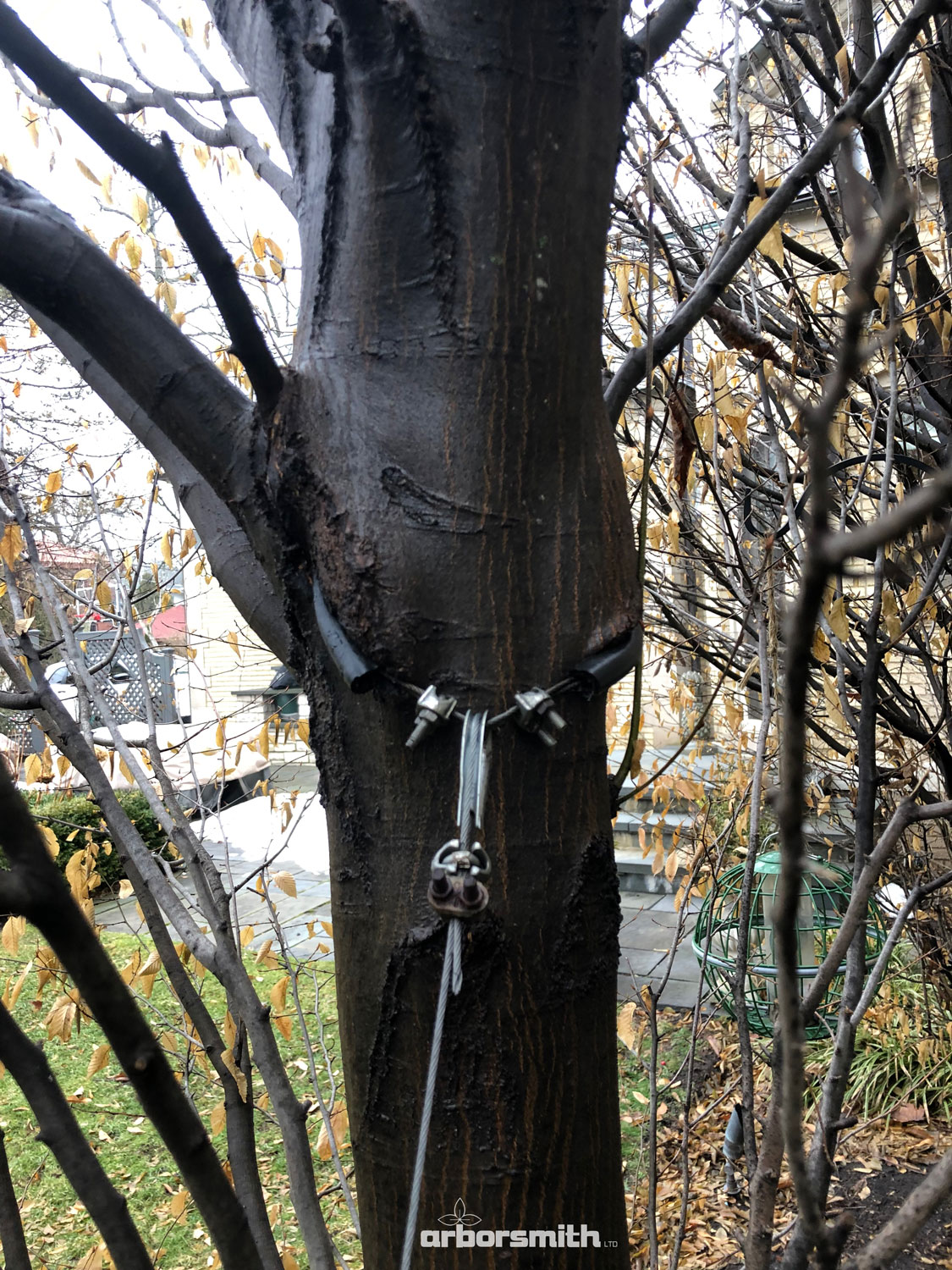 Alder tree that has been mortally wounded by a support cable installed and forgotten. Even though the landscape company that did the installation was on site every week doing maintenance for over 4 years.